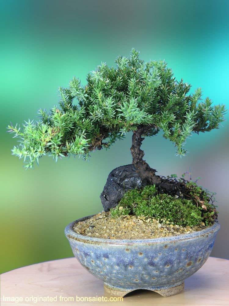 mini zen garden bonsai tree
